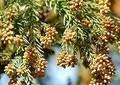 スギは毎年1600万本も植えられている 花粉症が今や「国民病」といわれているのに