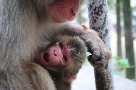 「シャーロット」と名付けられた赤ちゃんザル(高崎山自然動物園提供)