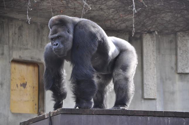 1996年12月6日に群れごとオーストラリアのタロンガ動物園に移動したシャバーニ君。(写真:東山動植物園提供)