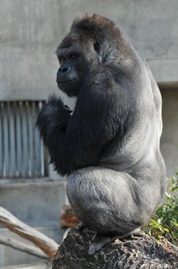 2007年6月27日に東山動植物園に来園したシャバーニ君。(写真:東山動植物園提供)