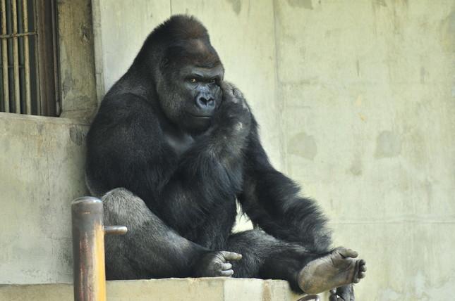 シャバーニ君は東京の上野動物園にお兄さんがいる。(写真:東山動植物園提供)