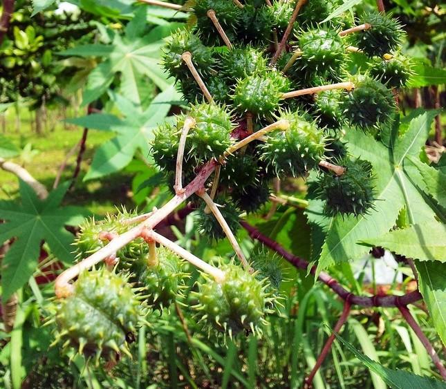 「リシン」を含んだ種を包むトウゴマの実