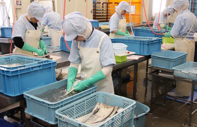 福寿水産の社員が、フカヒレの加工作業に励む