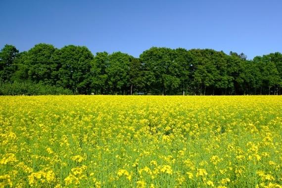 「撮り鉄」によって真岡鉄道の線路脇の菜の花畑が荒らされた。「もう来ないで下さい」との訴えに批判も(写真はイメージ)