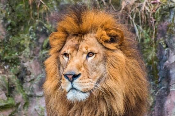ライオンはオス同士も仲良し?