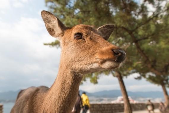 シカの食害に苦しむ滋賀県。しかしココイチの鹿肉カレーは美味いらしい(写真はイメージ)