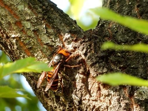 樹木はもちろん、住宅地の至る所で巣を作るスズメバチ