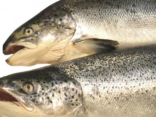 鮭は内臓まで食べると心臓にいい