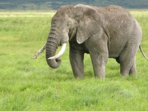 アフリカゾウの象牙の輸入はワシントン条約で禁止されている