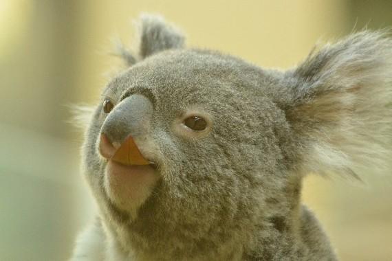コアラには人類を救う力がある?