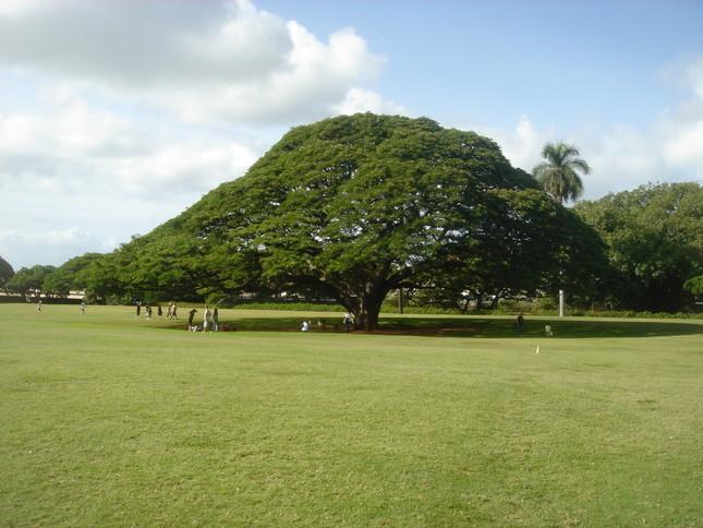 「日立の樹」はハワイ・オアフ島の「モアナルア・ガーデンパーク」にある