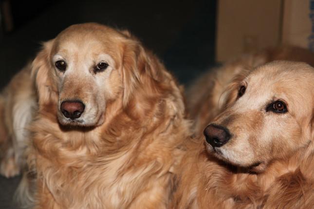 小~中型犬は11歳ごろ、大型犬は8歳ごろから「高齢犬」とされる(写真はイメージ)