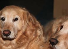 介護は人間だけの問題じゃない ペット犬も高齢化「老々飼育」が深刻
