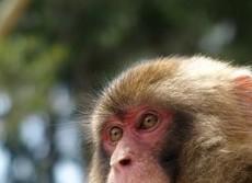 驚きの発見、サルも「哲学」する? 自分の「無知」を知る知恵者だった