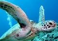 アオウミガメ、45万円「売約済」で大騒ぎ 「絶滅危惧種」でも売れるのか
