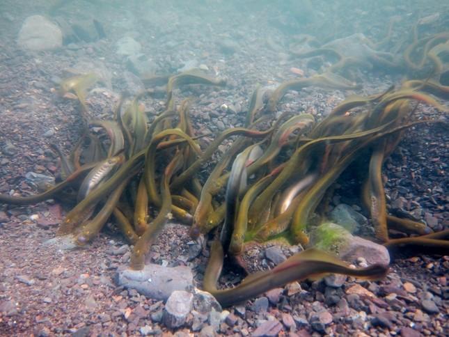 川床の巣の上で「乱婚」するヤツメウナギの群れ(北海道大学提供・森田健太郎氏撮影)