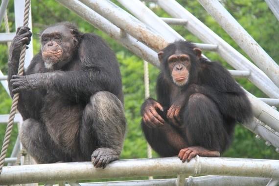 チンパンジーの葉の「ガムテープ」で寄生虫を駆除