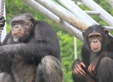 薬草を使うネアンデルタール人より凄い サル、シカ、昆虫...動物たちの健康法