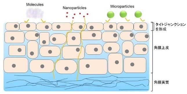 角膜の模式図と点眼薬の眼内移行性。分子(Molecules)やミクロ粒子(Microparticles)では低かった眼内移行性だが、ナノ粒子(Nanoparticles)では眼内移行性が向上した