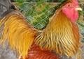 「巨大すぎるニワトリ」世界が震撼 コソボでは普通の怪鳥「ブラマ」