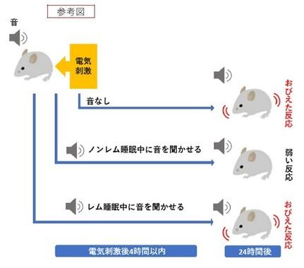 音を聞かせながら電気刺激を与えたマウスでは、その後音を聞かせるだけでおびえた反応を示すようになるが、ノンレム睡眠中に音を聞かせた後はおびえた反応が弱まることがわかった