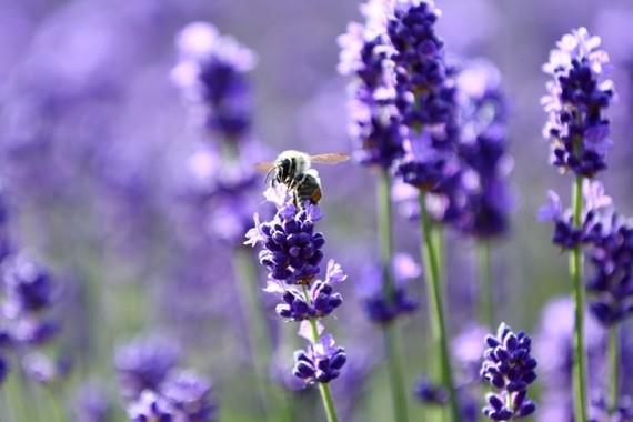 最強最高のアロマの香りはラベンダー