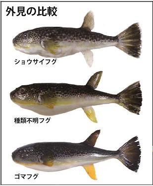 ショウサイフグ、ゴマフグ、そして「種類不明フグ」の比較(発表資料より抜粋)