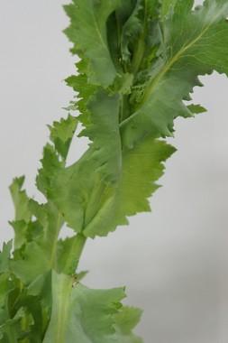 葉が茎を抱き込むようにしてついているのが特徴(写真提供:長野県)