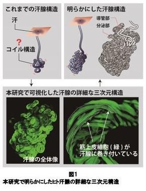 大阪大学とマンダムが開発した汗腺の立体画像(大阪大学とマンダムの発表資料より)