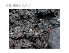 ヒアリの次はアカカミアリ、神戸市 沖縄にはすでに定着している外来生物