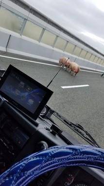高速道路に豚が(@TERU42314さん提供)
