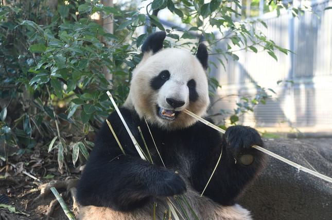子どもを出産したシンシン (C)(公財)東京動物園協会