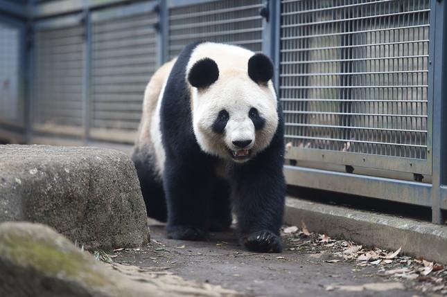 歩くシンシン (C)(公財)東京動物園協会