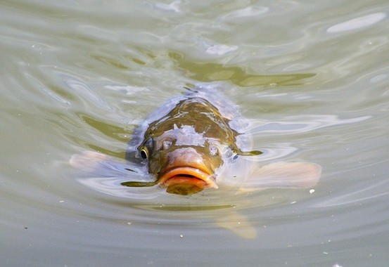 魚も草食男子化…しているわけではない(画像は一般的なコイ)