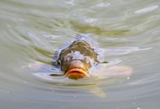 女性ホルモンでオスの魚がメス化 英研究者、河川の医薬品による汚染を指摘