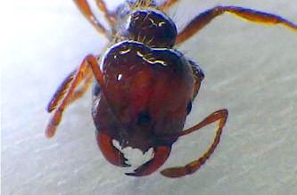 ヒアリの増殖を止めることができるか(環境省の発表資料より)