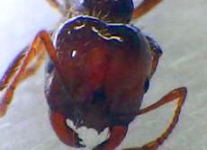 ヒアリの天敵「ゾンビバエ」が怖すぎる 生きたままヒアリの脳を食べ、生首ポロリ!