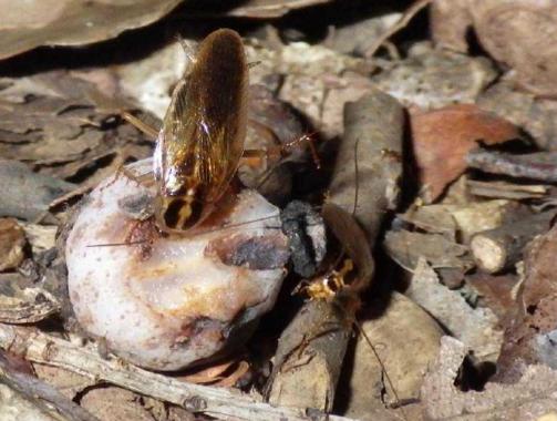 ギンリョウソウの果肉を食べるモリチャバネゴキブリ(熊本大学の発表資料より)