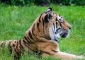 補償金目当てでトラに食われる? インドで家族を犠牲にしたとの報道