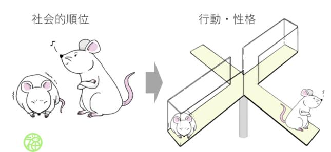 順位がマウスに与える影響(国立遺伝学研究所の発表資料より)