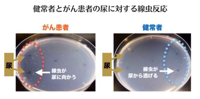 健常者とがん患者の尿に対する線虫の反応(ヒロツバイオの発表資料より)