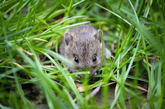 ネズミから日本人の起源がわかるかも