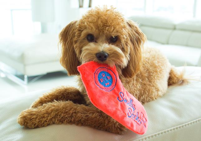 Smelly Sockで遊ぶ犬(DISCOVERの発表資料より)
