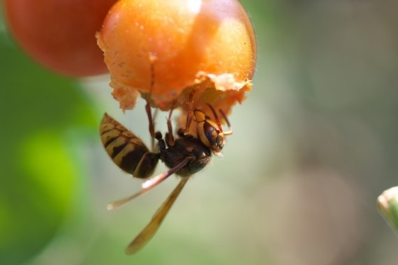雑食性のキイロスズメバチ