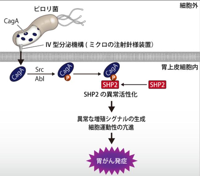 ピロリ菌が発がんタンパク質を細胞に「注射」する(東京大学の発表資料より)