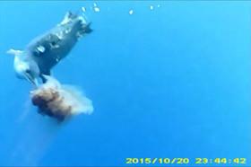 コガタペンギンがクラゲを捉えたシーン。カメラをつけた他の個体が撮影したもの。図はペンギンに小型カメラをつけた様子(極地研究所の発表資料より)
