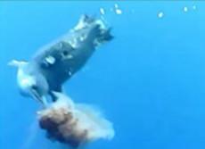 衝撃!ペンギンはクラゲを食べていた 国立極地研が世界初の発見映像を公開