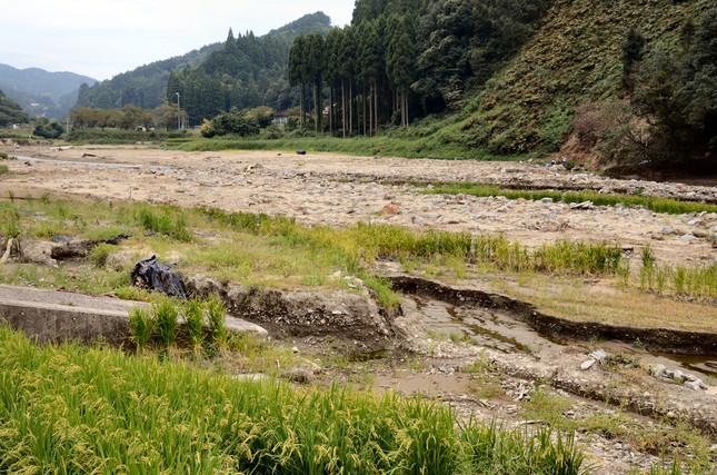 河原のように見えるが、元は水田。残されたイネが悲しい