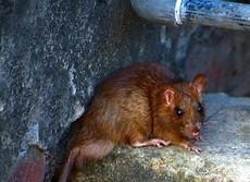 マダガスカルで「肺ペスト」流行 人から人への感染、24時間で死亡