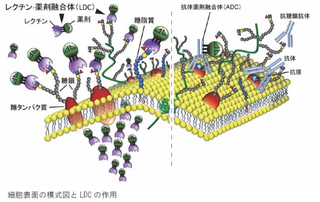 レクチン・薬剤融合体の仕組み(筑波大学などの発表資料より)